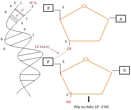 Cấu trúc bậc 1 của ADN