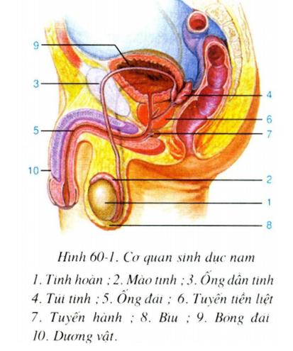 Nơi sản xuất tinh trùng là tinh hoàn. Nằm phía trên mỗi tinh hoàn là mào  tinh đó là nơi tinh trùng tiếp tục hoàn thiện về cấu tạo.