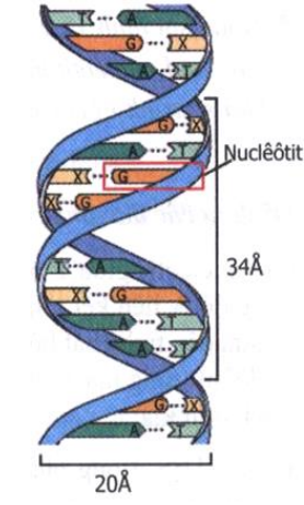 ADN là một chuỗi xoắn kép gồm hai mạch song song xoắn đều quanh một trục: