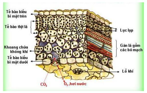 Kết quả hình ảnh cho lá có cấu tạo như thế nà o để phù hợp với chức năng chế tạo chất hữu cơ