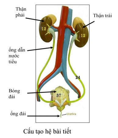 Kết quả hình ảnh cho Câu 3: trình bà y chức năng cấu tạo từng phần của hệ bà i tiết nước tiểu?